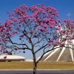 Catedral-MetropolitanaIpê-Roxo-tree-300x199